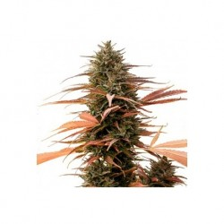 ONE - Strawberry Cake CBD 3x Graines feminisée